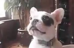 Frenchie Puppy Barking